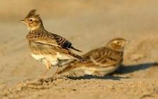 """养鸟专家告诉你""""云雀""""和""""小云雀""""的区别(图文)"""