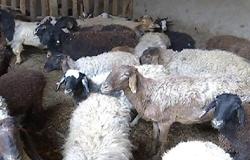七旬老翁致富路上不靠人 自己养羊就脱贫