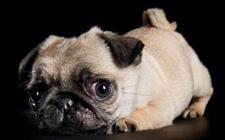 巴哥犬容易生什么病?巴哥犬常见疾病及其预防