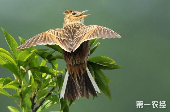云雀为什么最好从雏鸟养起?老野云雀怎样养不怕人?