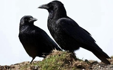 """乌鸦被视为""""不祥之物""""的原因有哪些?"""