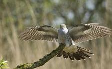 布谷鸟的叫声及其生活习性介绍