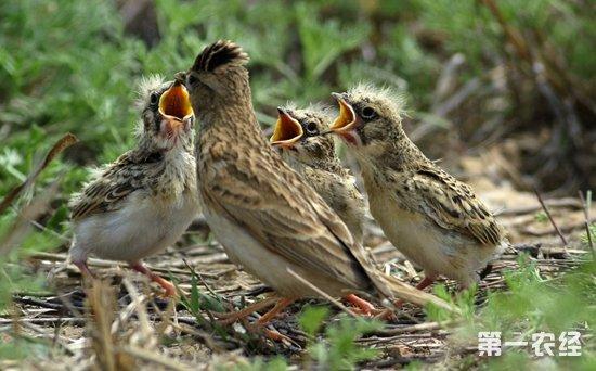 云雀是什么鸟?云雀的生活习性介绍