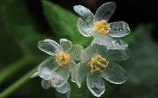 日本山荷叶的花瓣会变成透明的原因分析
