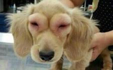 狗狗被蛇咬到了怎么办?狗狗蛇毒中毒的诊断要点和治疗方法