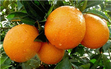 脐橙采果后该补什么肥?脐橙采果后的施肥技术介绍
