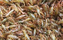 福建长汀小龙虾养殖效益高,全村致富好帮手