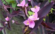 紫鸭跖草怎么养?紫鸭跖草的养殖方法和注意事项