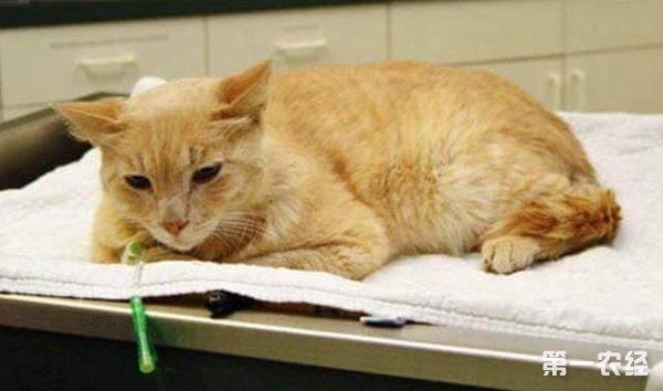 猫咪尿道堵塞怎么办呢?猫咪尿道堵塞的治疗方法