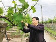 <b>种植20年葡萄创新技术避雨栽培带着果农奔小康</b>