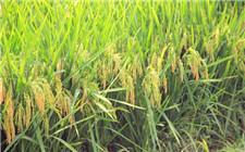 湖南省调整种植业结构 将减少水稻种植面积300万亩