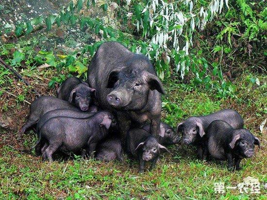 贵州投入1500万助从江县发展香猪产业