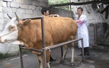怎么判断母牛是否怀孕带犊?母牛怀孕判断方法大全