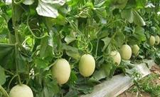 调整种植结构发展甜瓜生产增收致富