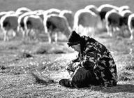 羊倌养羊年入8万行行出状元