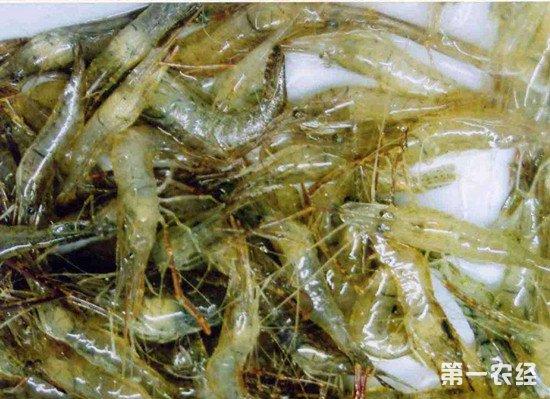 巢湖:禁渔期非法毒虾 两农民被刑事拘留