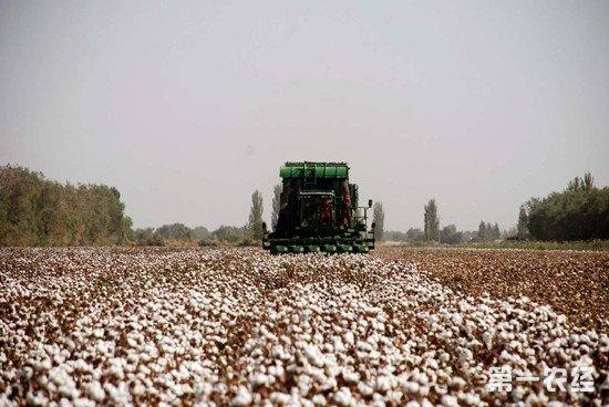 新疆库尔勒今年将种植机采棉7万亩