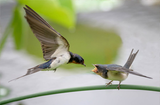 【燕子專題】燕子是什么鳥?燕子的生活習性介紹