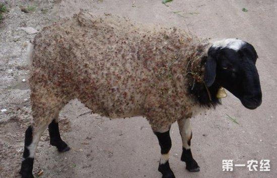 """怎么赶走羊身上的""""吸血鬼""""?羊体外寄生虫的预防与驱逐"""