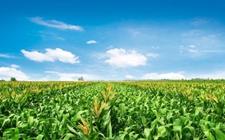 辽宁:玉米播种面积过半 已达2456万亩