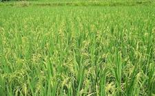 农业农村部:要努力促进水稻新品种的选育推广