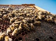 蜜蜂怎么养殖?怎么做好蜜蜂的调温工作?