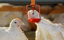 <b>什么样的饮水器较好?各家鸡用饮水器对比</b>