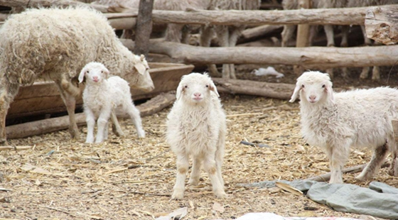 为啥有些养羊户拿不到相应补贴?为什么不能拿到养殖补贴?