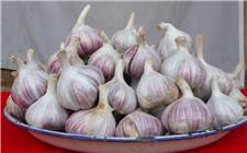 怎么种好紫皮大蒜?种植紫皮大蒜的注意事项