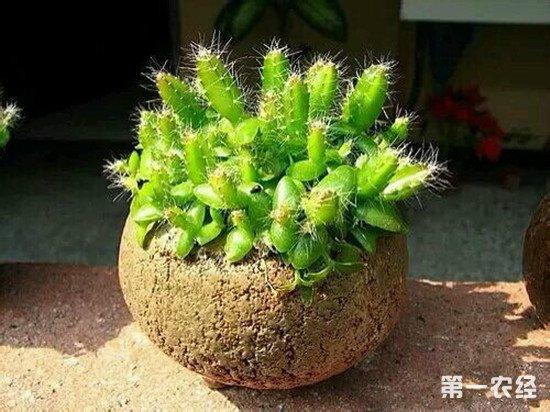 在家种植火龙果怎么养护