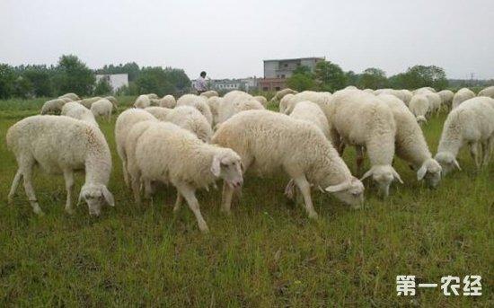 养50只湖羊要多少成本?湖羊养殖利润分析