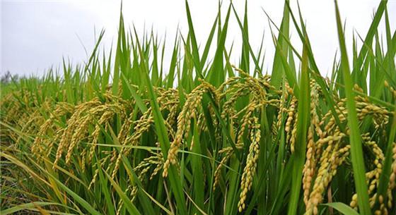 176种实验海水稻长势良好 今年有望挑选出适宜推广的海水稻品种