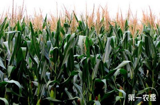 这些症状可能不是病:玉米缺肥的各种表现