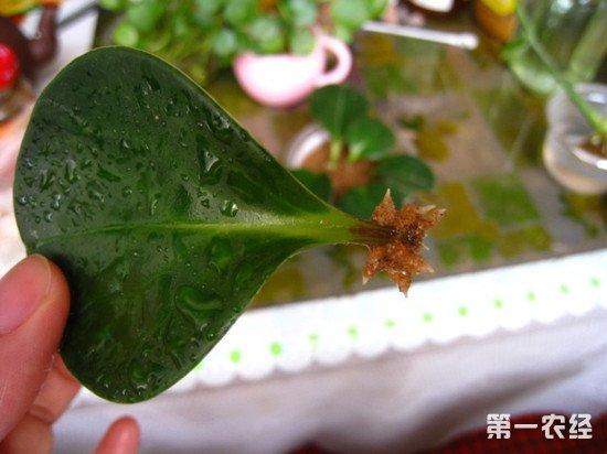 豆瓣绿叶插繁殖图文教程