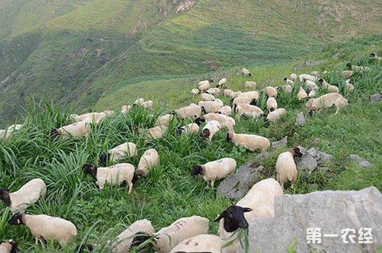 常见肉羊品种有哪些?肉羊品种大全(图)