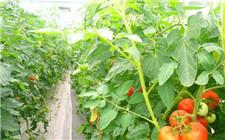 中国农业科学院展示健康高效绿色蔬菜种植模式