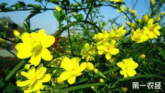 迎春花叶子发黄怎么办?迎春花叶子发黄的原因及解决办法