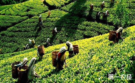 中国是茶的故乡,也是茶文化的发祥地,茶已经成为人们生活中不可缺少的一种饮品。象山县是浙江省宁波市的下辖县,将着手打造茶产业的发展,增加茶农们的收入。象山县的茶叶品牌有十几个,像我们熟悉的象山天茗、天池翠等都是象山县本地的茶叶品牌。近日,宁波象山茶文化促进会、县林学园艺学会联合主办了全县名优茶评比赛,以进一步扩大象山县名优茶的知名度,打造象山茶叶优势品牌,提高象山县茶叶市场竞争力和市场占有率。活动期间,缨溪诗社、丹山雅集组织人员考察了南充茶园,听取茶文化讲座,以茶为题创作相关诗词,传播茶文化知识;评茶专