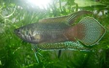 圆尾斗鱼吃什么?圆尾斗鱼能和其他鱼一起混养吗?