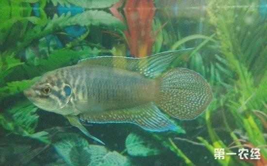 图:饲养二三年的圆尾斗鱼