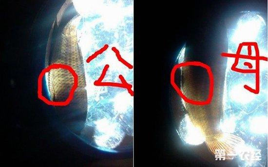 圆尾斗鱼怎么区分公母?圆尾斗鱼公母区别方法