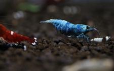 你见过水晶虾吗?神奇的水晶虾美图欣赏