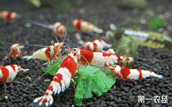水晶虾为什么会短时间内大批死亡?