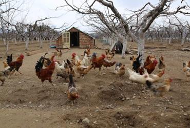 怎样做好不同季节的养鸡管理?不同季节养鸡的饲养要求