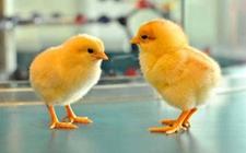 <b>哪个季节最合适育雏?育雏鸡最佳时间是什么时候?</b>