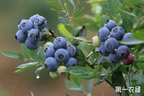 北方水果南方落户 广东大范围引种蓝莓种植成功
