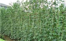 豆角种植高产技巧:豆角的播种和科学施肥