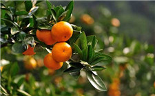 怎么才能让柑橘更甜?柑橘增甜施肥技术