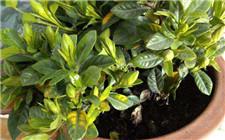 茶花叶子发黄的原因及解决办法