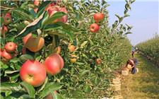 怎么让苹果更大更甜?科学追施钾肥是关键